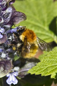 Bumble bee on Bugle