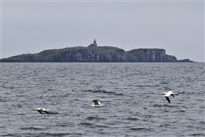 Gannets flying and the Isle of May