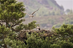 Young Ospreys taking off and landing