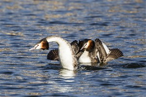 Great crested grebe pair cat display