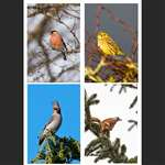 4 greetings cards - Passerines