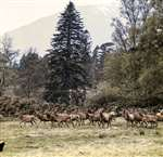 Red deer herd, Black Mount