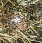 Twite nest, North Uist