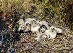 Hen harrier chicks in Kirbister, Orkney Isles