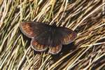 Small mountain ringlet, Ben Lawers