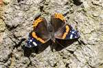 Red Admiral butterfly, Millport