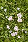 Thrift and Spring squill, Foula