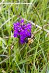 Common Carder bumblebee on Northern Marsh Orchid