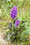 Spotted Orchid, Orkney