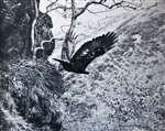 C E Palmar Golden Eagle - Dropping off the eyrie 1952