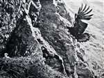 C E Palmar Golden Eagle arriving from the tops - 1958
